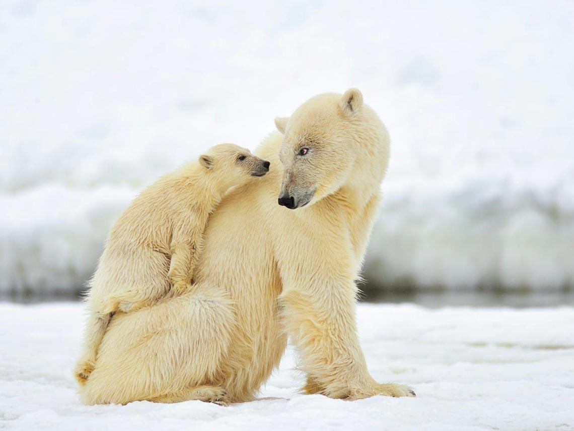 Những tác phẩm nhiếp ảnh xuất sắc về gấu Bắc cực -12