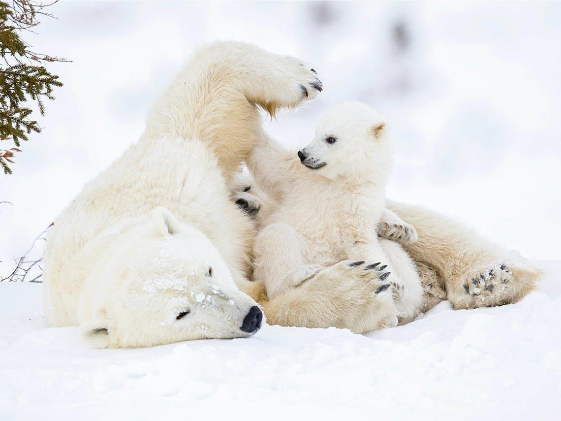 Những tác phẩm nhiếp ảnh xuất sắc về gấu Bắc cực -13