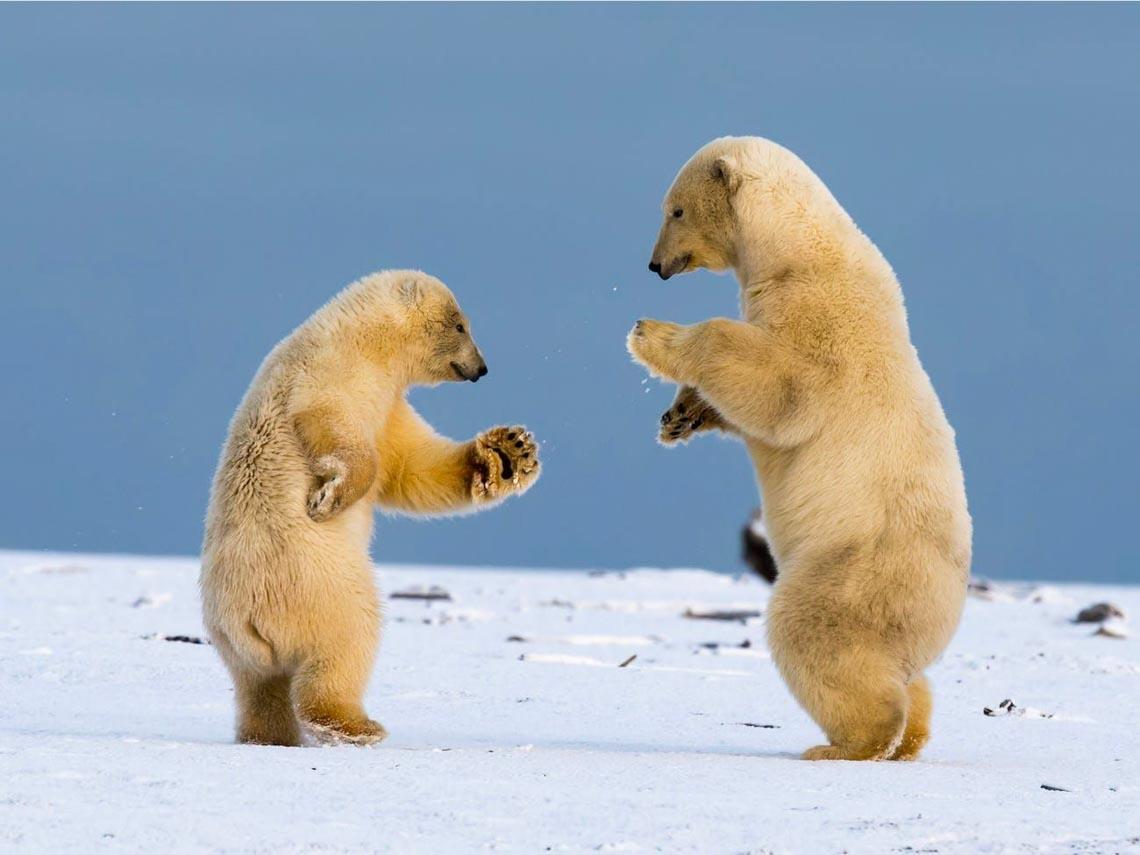 Những tác phẩm nhiếp ảnh xuất sắc về gấu Bắc cực -14