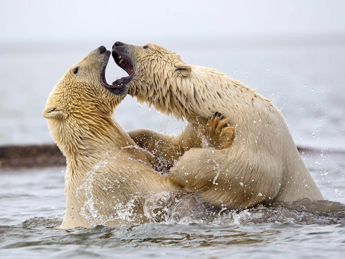 Những tác phẩm nhiếp ảnh xuất sắc về gấu Bắc cực -15