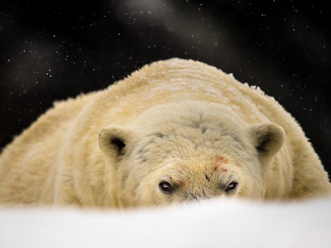 Những tác phẩm nhiếp ảnh xuất sắc về gấu Bắc cực -18