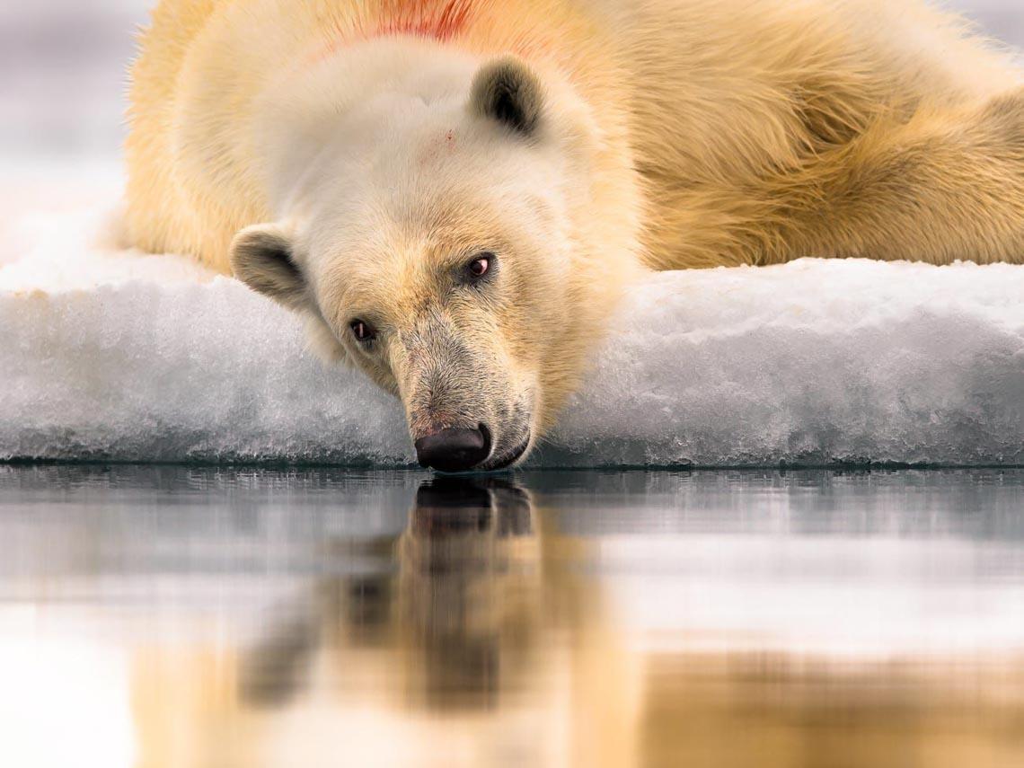 Những tác phẩm nhiếp ảnh xuất sắc về gấu Bắc cực -19