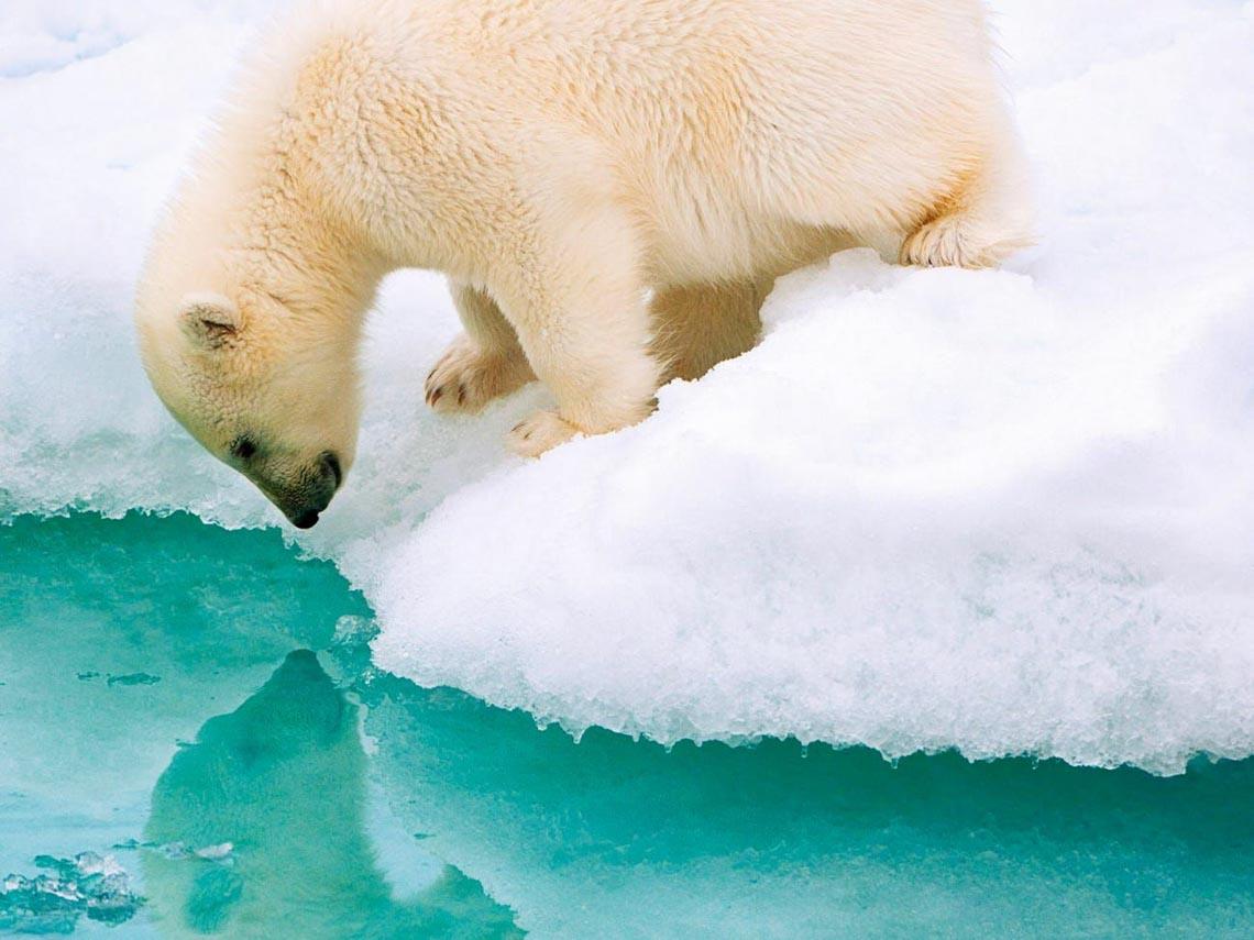 Những tác phẩm nhiếp ảnh xuất sắc về gấu Bắc cực -23