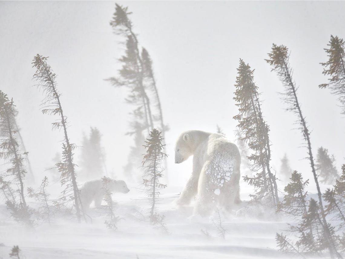 Những tác phẩm nhiếp ảnh xuất sắc về gấu Bắc cực -3