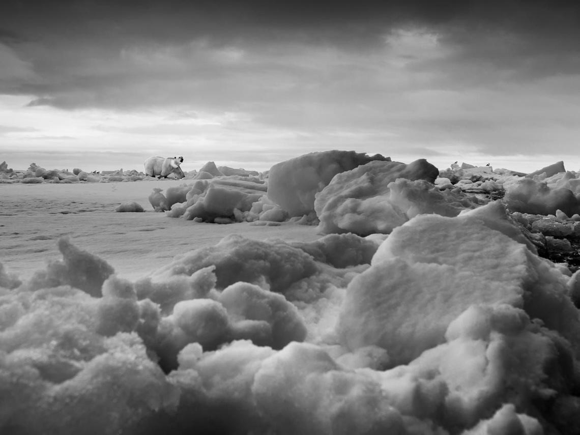 Những tác phẩm nhiếp ảnh xuất sắc về gấu Bắc cực -4