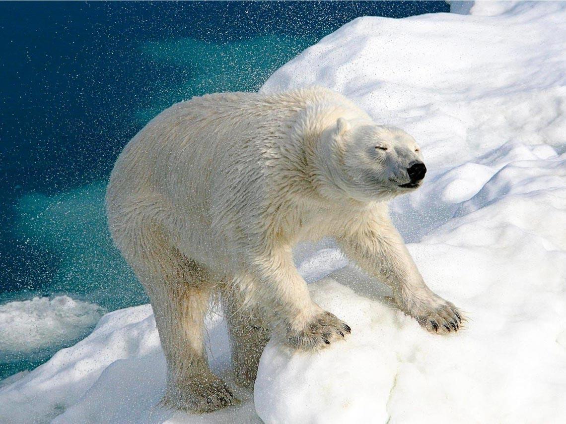 Những tác phẩm nhiếp ảnh xuất sắc về gấu Bắc cực -6
