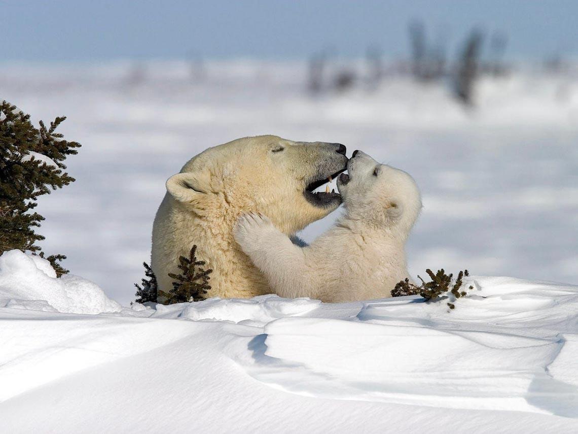 Những tác phẩm nhiếp ảnh xuất sắc về gấu Bắc cực -7