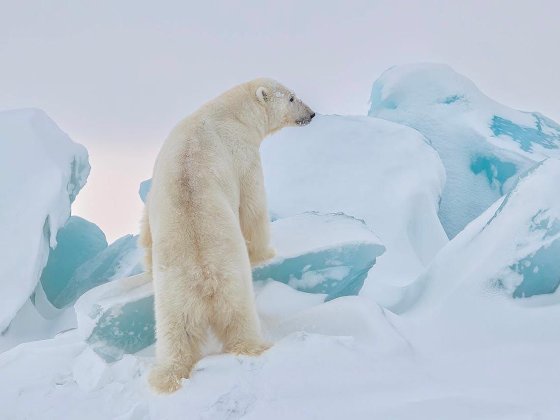 Những tác phẩm nhiếp ảnh xuất sắc về gấu Bắc cực -9