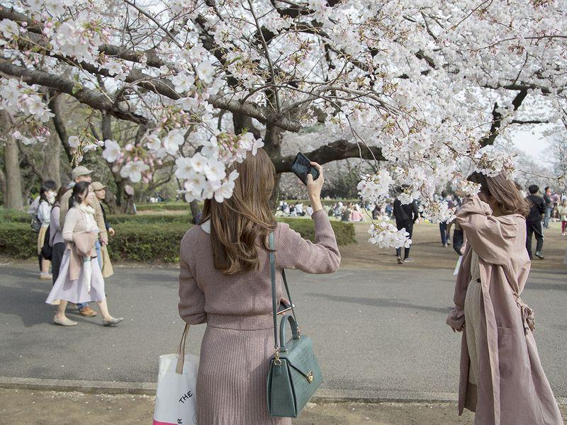 Nhật ra ngoài ngắm hoa anh đào bất chấp cảnh báo về coronavirus - 09