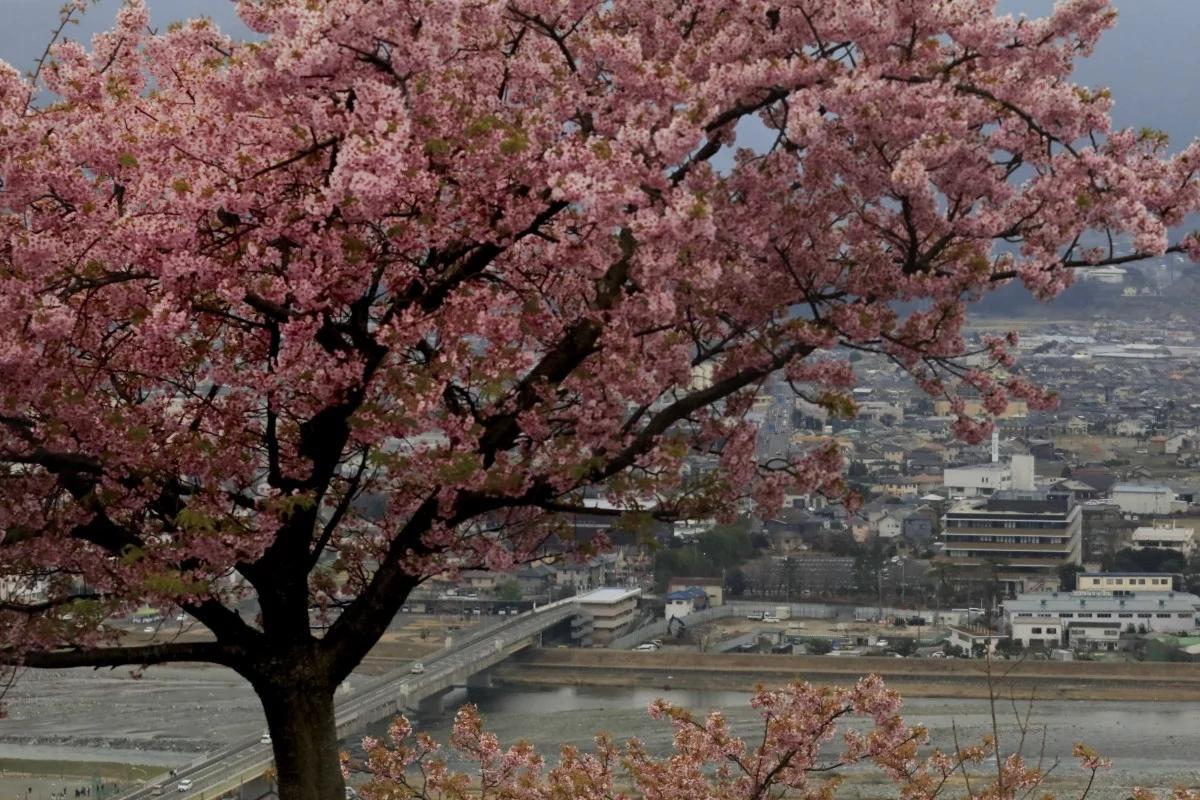 Nhật ra ngoài ngắm hoa anh đào bất chấp cảnh báo về coronavirus - 04