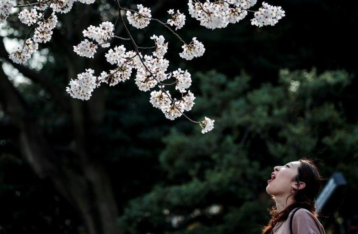 Bất chấp khuyến cáo, hàng ngàn người Nhật đổ xô đi ngắm hoa anh đào -2