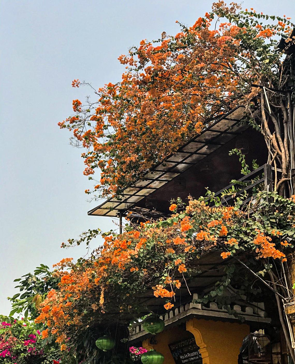 Hoa giấy nở rực rỡ Hội An trong 'những ngày corona' -10