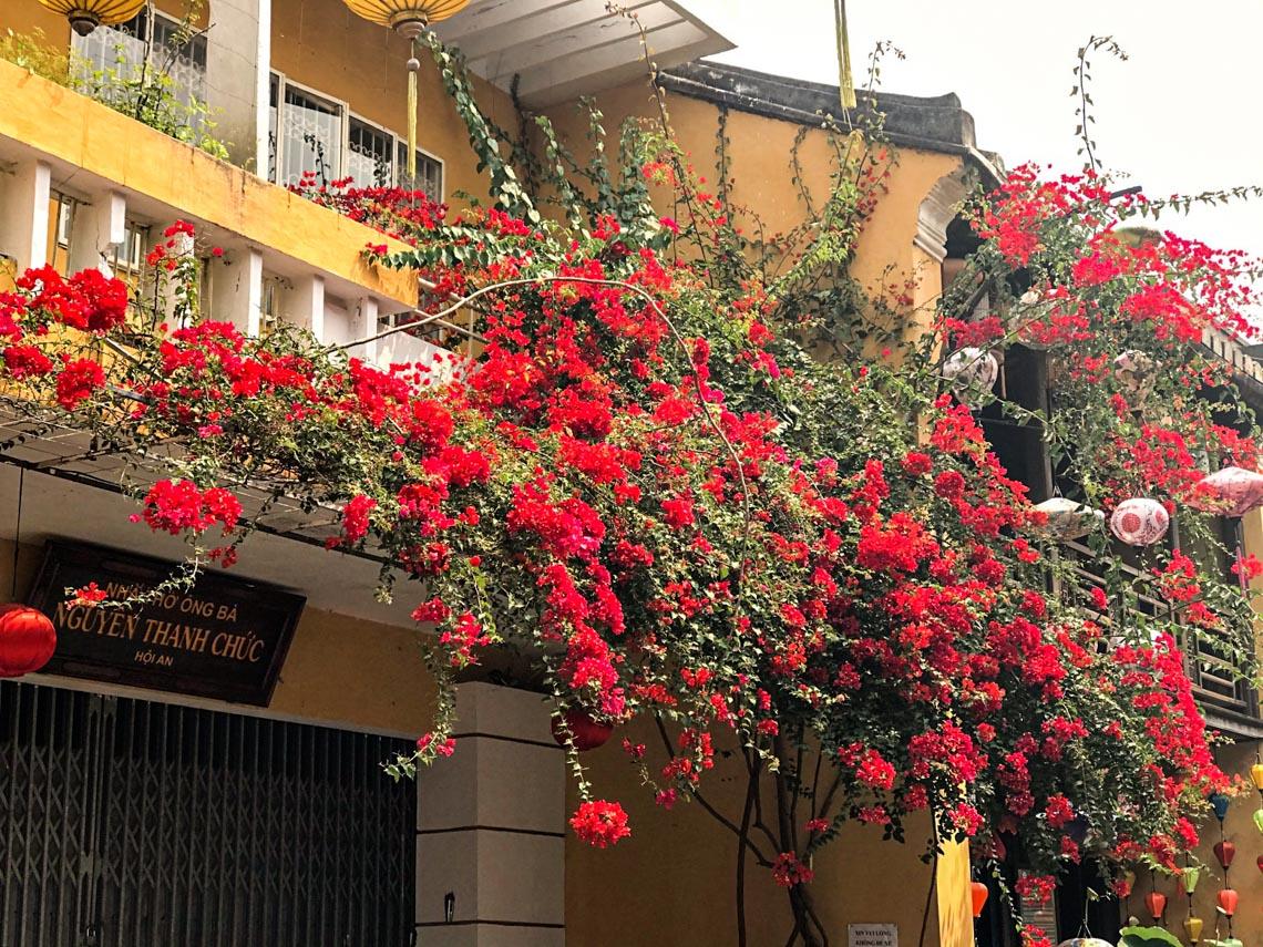 Hoa giấy nở rực rỡ Hội An trong 'những ngày corona' -6