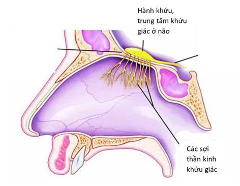 Mất mùi đột ngột: có thể là triệu chứng duy nhất ở bệnh nhân COVID-19 - 2