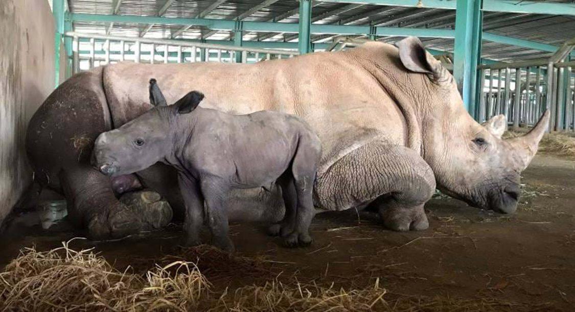 Gia đình tê giác ở Vinpearl Safari có thêm thành viên mới chào đời -4