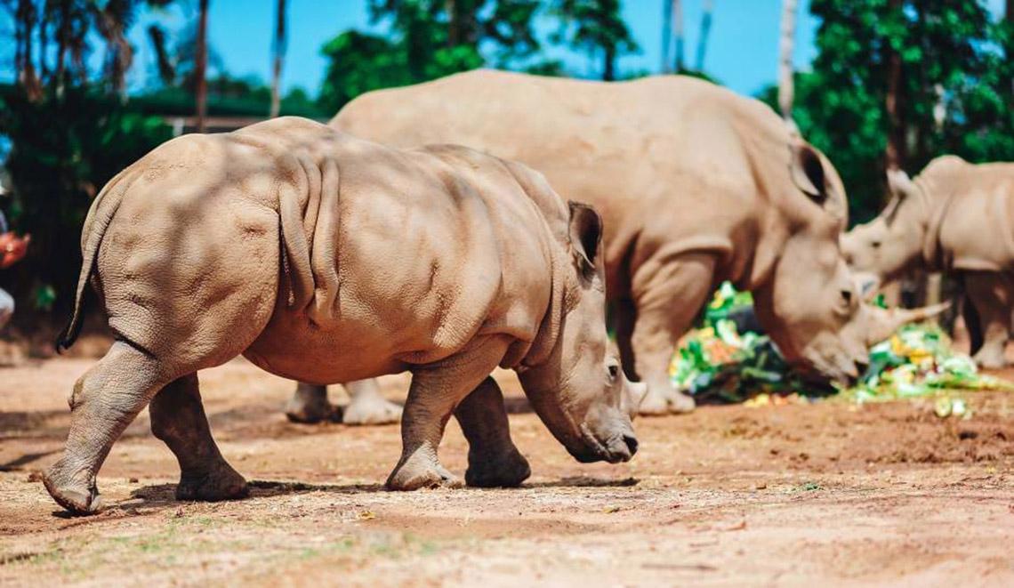 Gia đình tê giác ở Vinpearl Safari có thêm thành viên mới chào đời -6