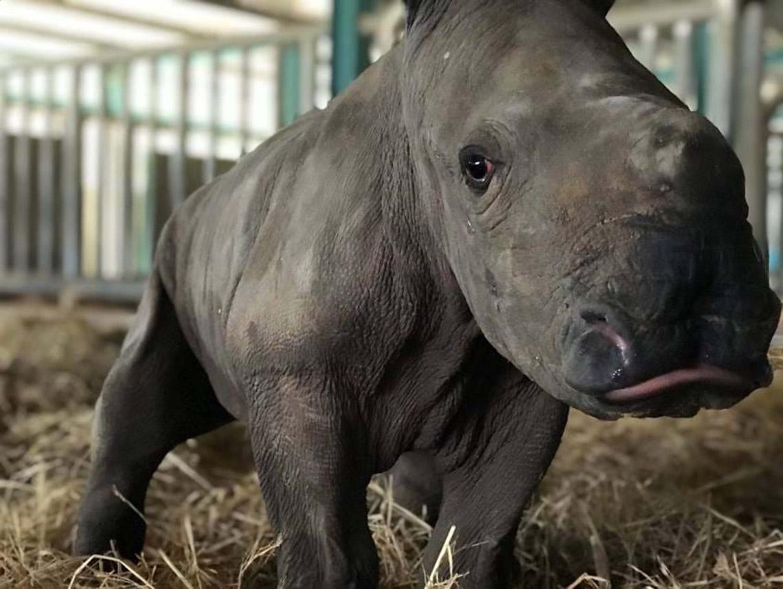 Gia đình tê giác ở Vinpearl Safari có thêm thành viên mới chào đời -9