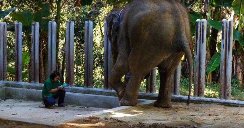 Voi Thái Lan: Ngành du lịch động vật u ám -3