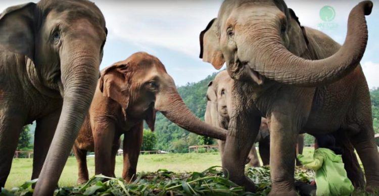 Voi Thái Lan: Ngành du lịch động vật u ám -6