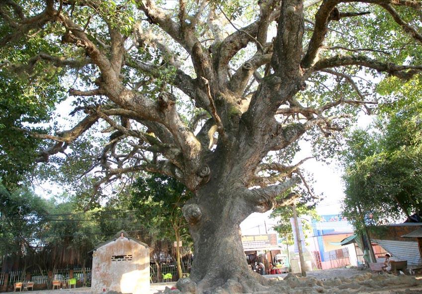 Truyền thuyết về 'cây dầu dù' ở Trà Vinh từ góc nhìn văn hóa dân gian -1