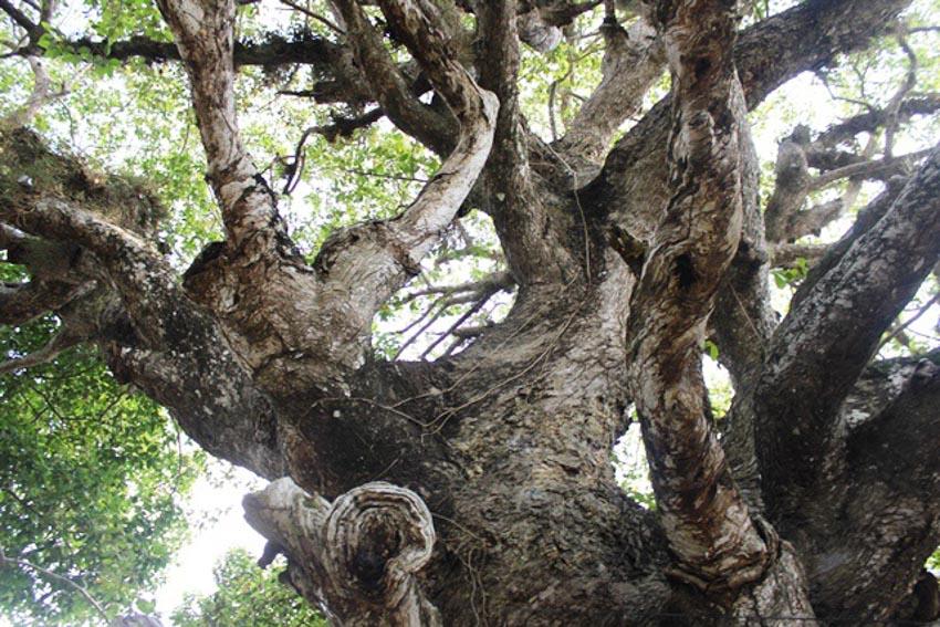 Truyền thuyết về 'cây dầu dù' ở Trà Vinh từ góc nhìn văn hóa dân gian -2