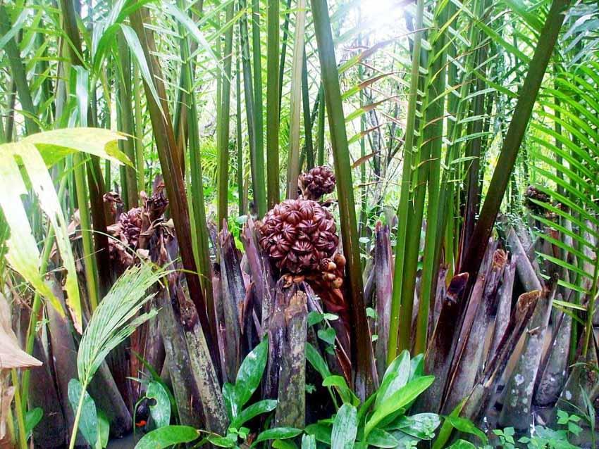 Trà dư tửu hậu: Dừa nước gợi nhớ hồn quê -2