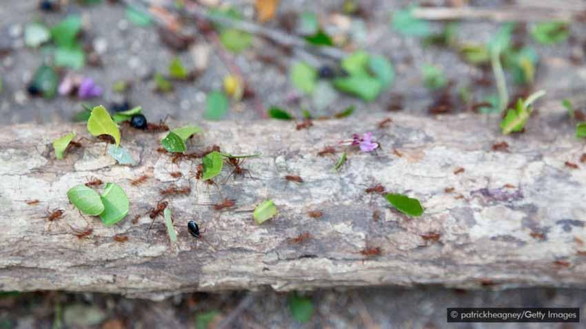 Lạ lùng món kiến mông to của người Colombia -6