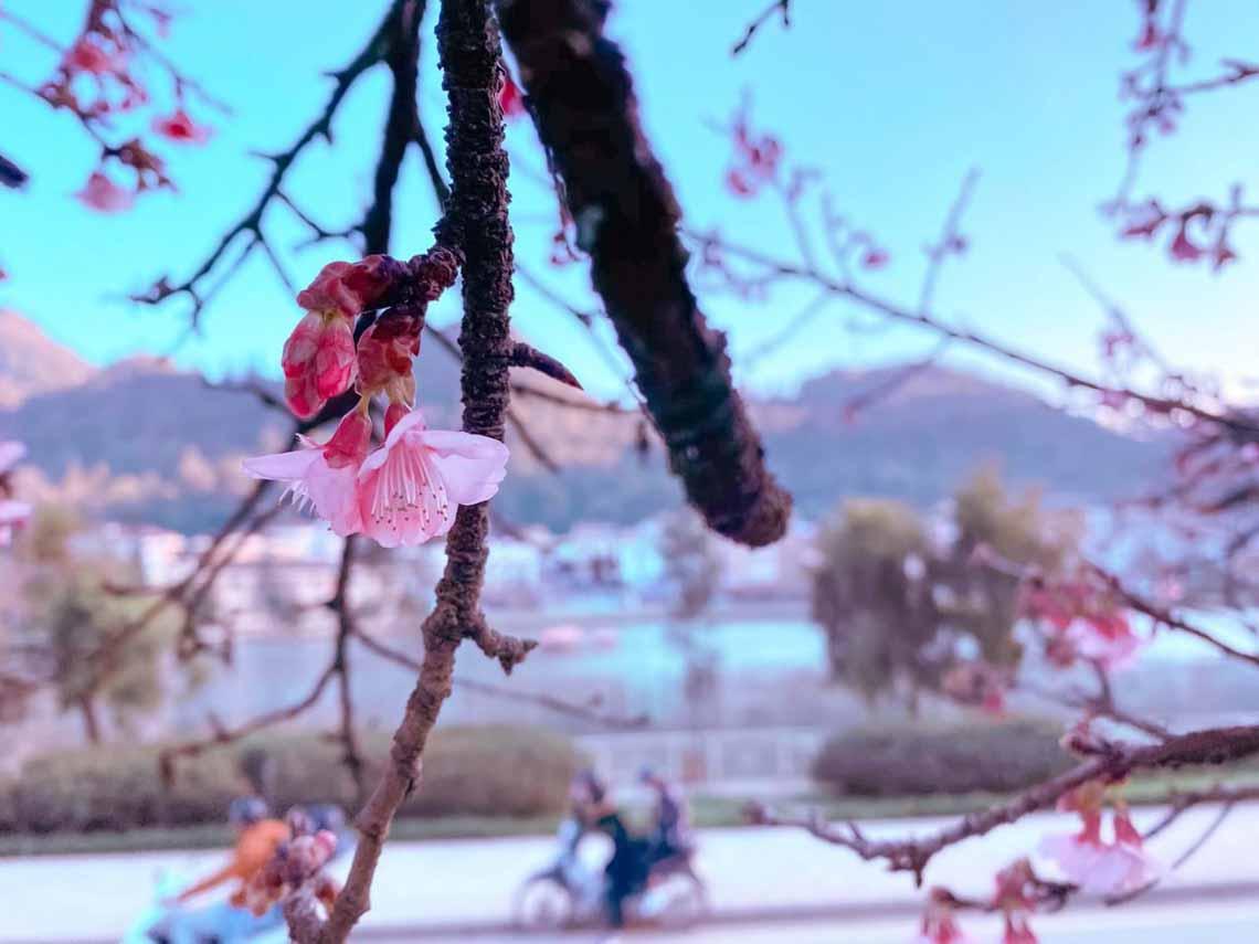 Hoa anh đào Nhật đang khoe sắc tuyệt đẹp tại 'thành phố mây ngàn' -1