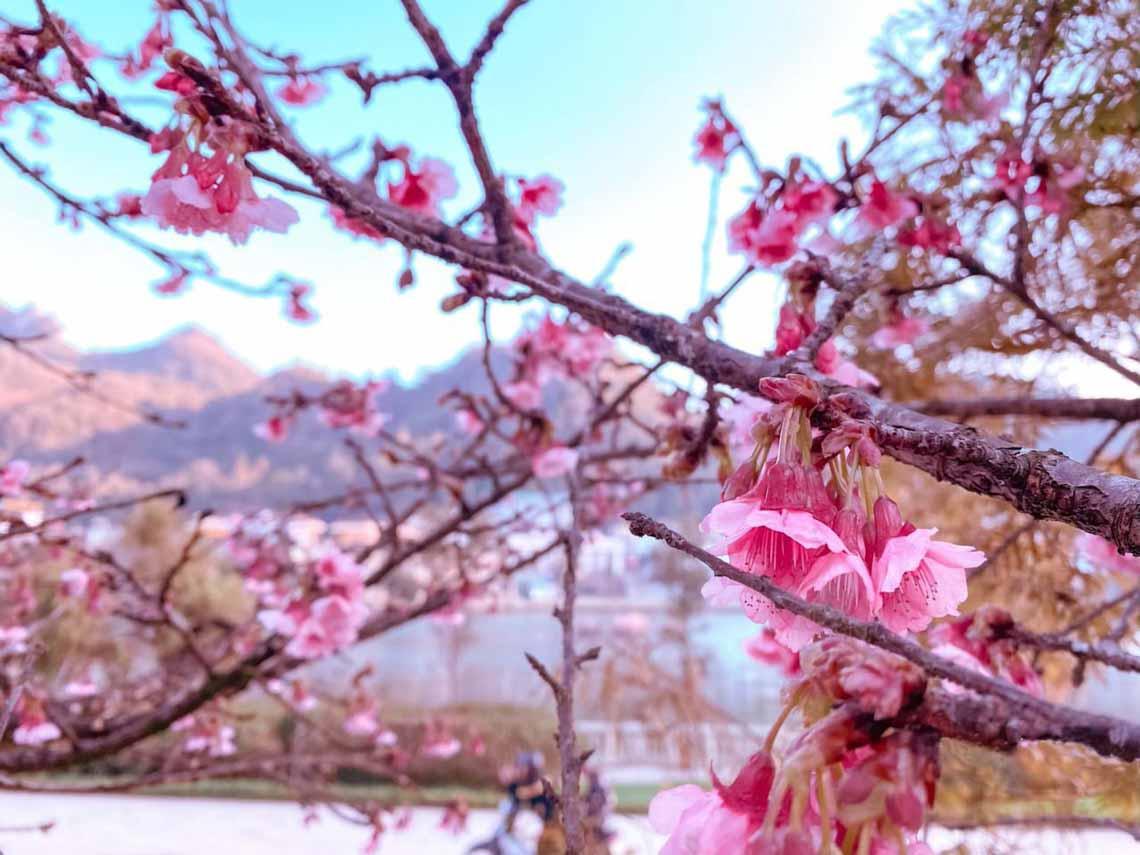 Hoa anh đào Nhật đang khoe sắc tuyệt đẹp tại 'thành phố mây ngàn' -2