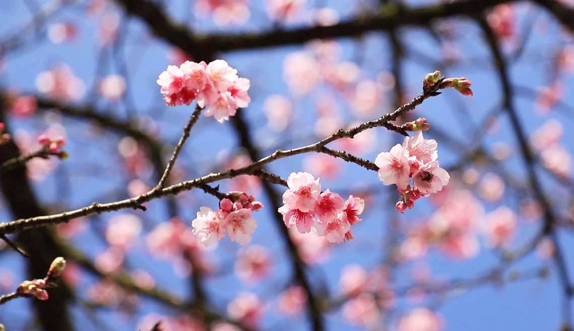 Hoa anh đào Nhật đang khoe sắc tuyệt đẹp tại 'thành phố mây ngàn' -3