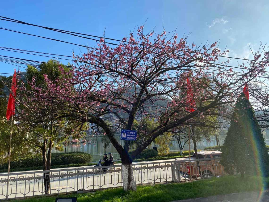 Hoa anh đào Nhật đang khoe sắc tuyệt đẹp tại 'thành phố mây ngàn' -4