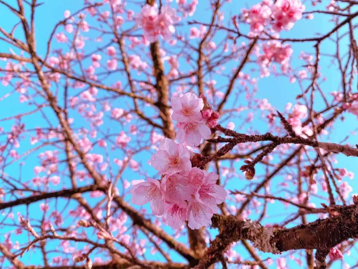 Hoa anh đào Nhật đang khoe sắc tuyệt đẹp tại 'thành phố mây ngàn' -5