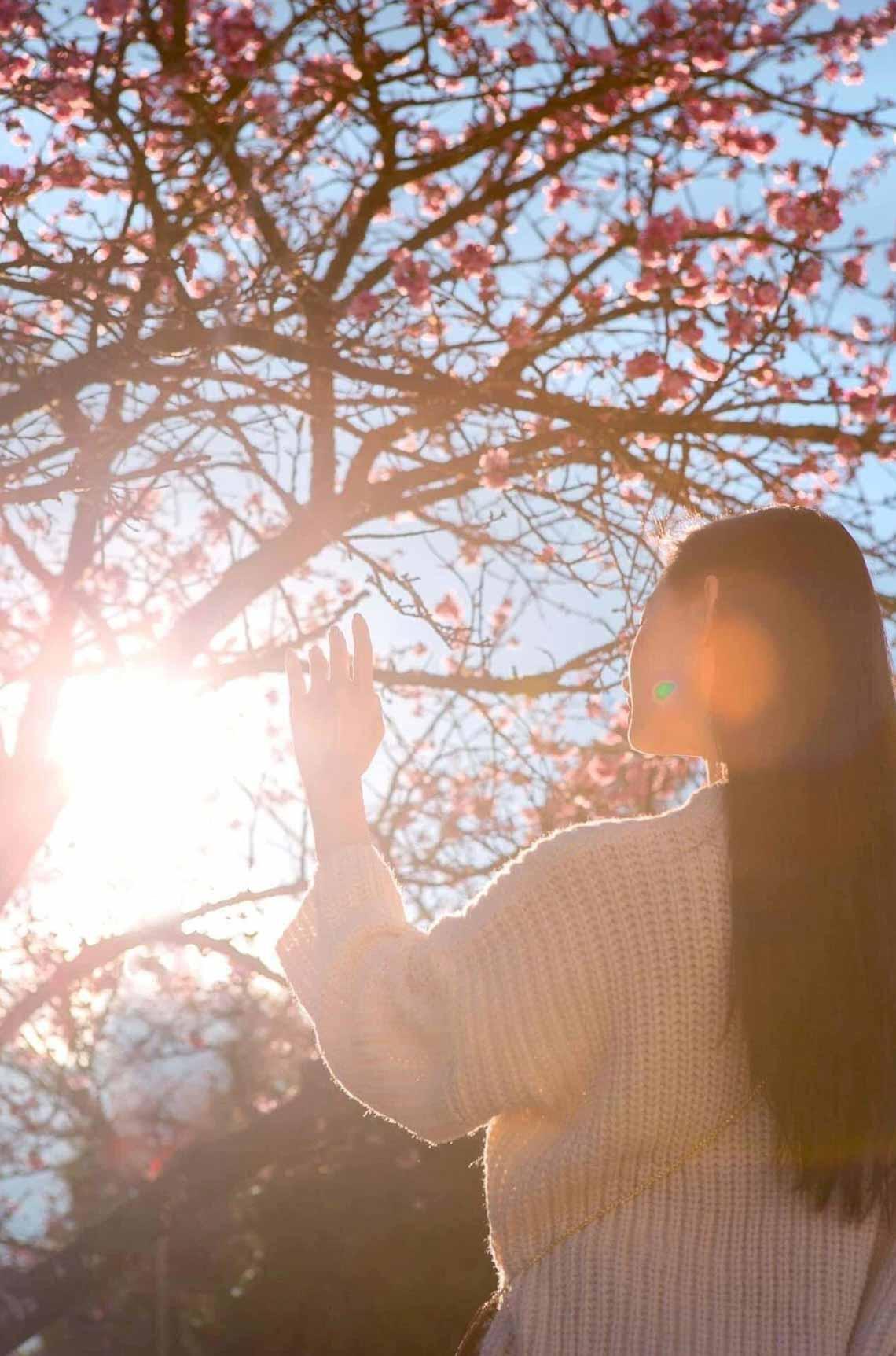 Hoa anh đào Nhật đang khoe sắc tuyệt đẹp tại 'thành phố mây ngàn' -6