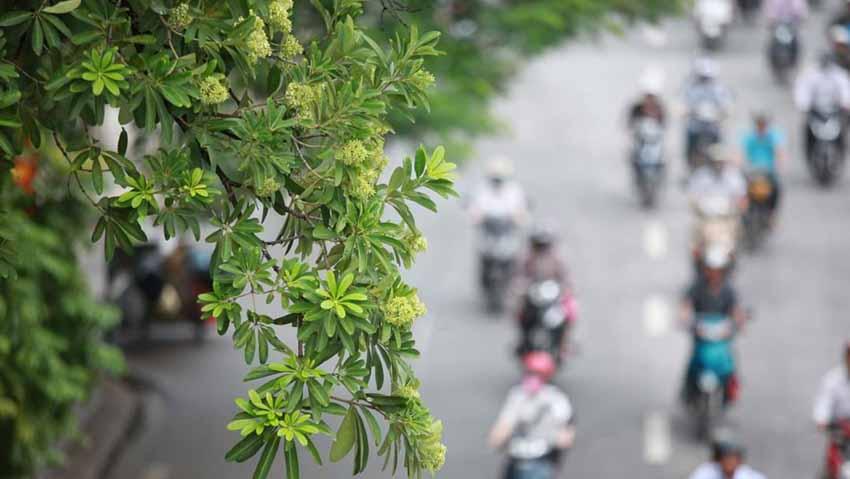 Từ hoa sữa nghĩ về cây xanh đô thị -1