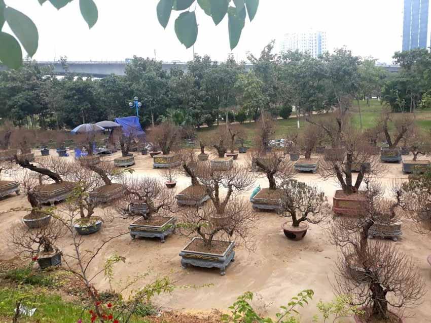Lướt qua những mảnh làng đào Hà Nội - 2