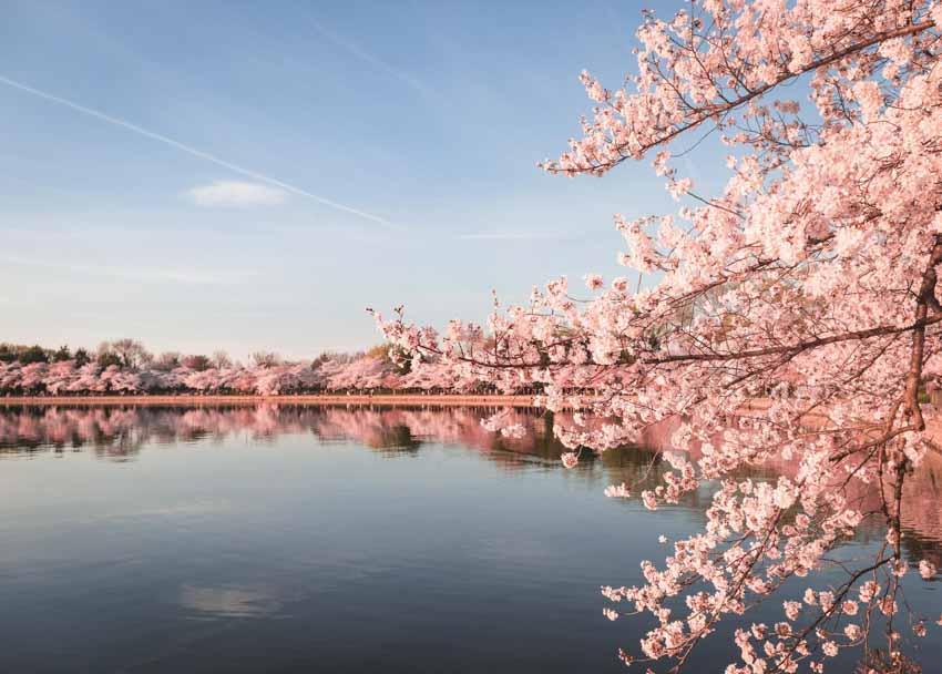 Hoa anh đào, 1.200 năm và biến đổi khí hậu - 4