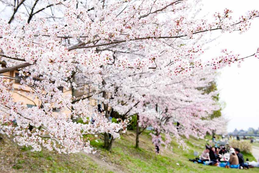 Hoa anh đào, 1.200 năm và biến đổi khí hậu - 5