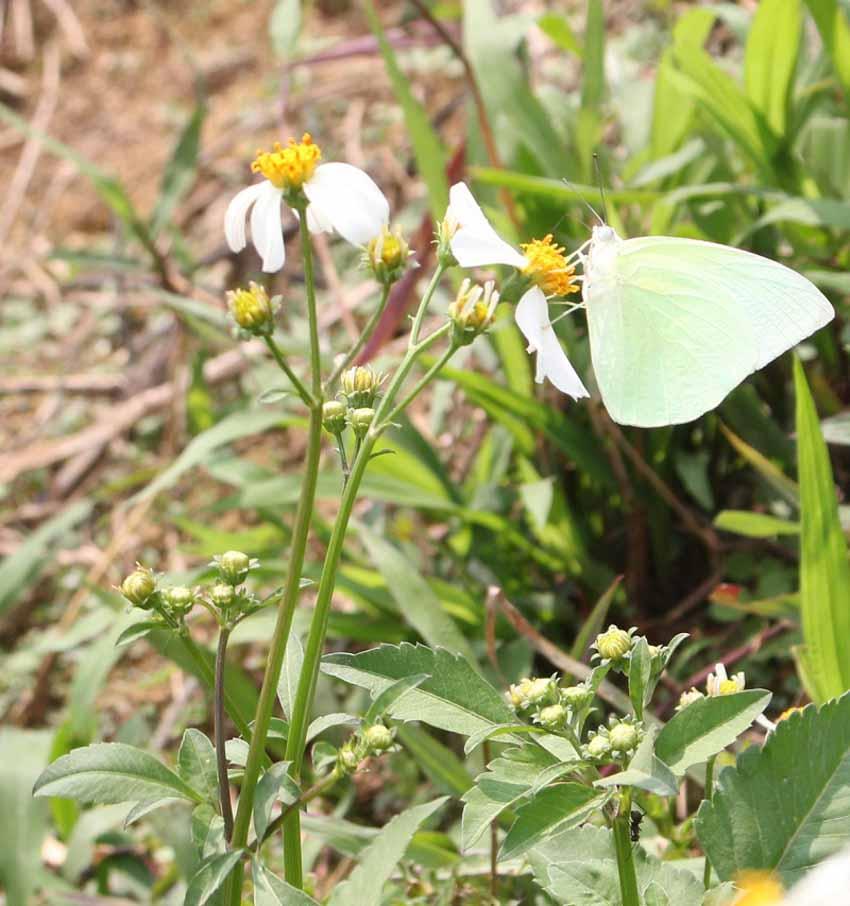 Mùa bướm sâu muồng - 2